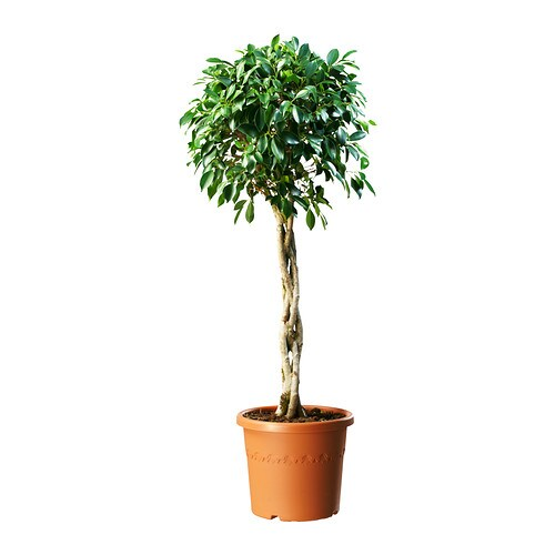 ficus nitida plante en pot ikea. Black Bedroom Furniture Sets. Home Design Ideas