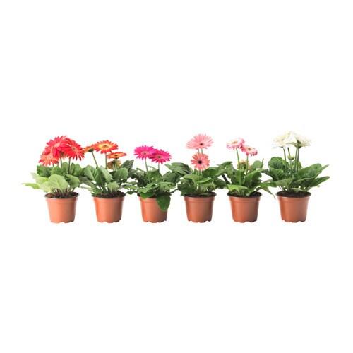Gerbera Plante En Pot Ikea