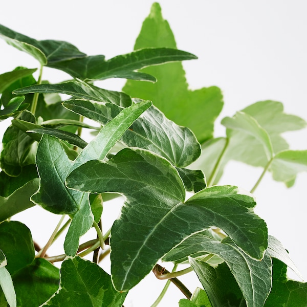 HEDERA HELIX plante en pot lierre 13 cm 35 cm