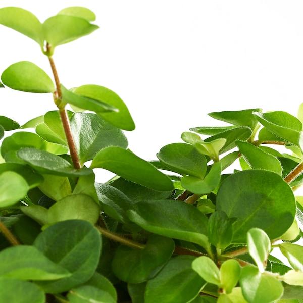 HIMALAYAMIX Plante en pot, diverses espèces, 12 cm