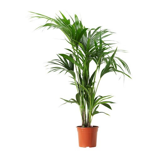 Howea forsteriana plante en pot ikea for Plante interieur ikea
