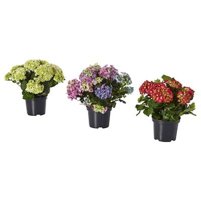 HYDRANGEA Plante en pot, coloris assortis, 19 cm
