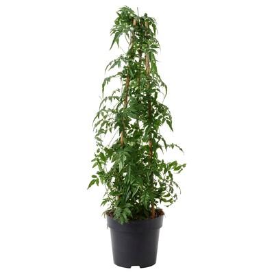 JASMINUM Plante en pot, jasmin, 17 cm