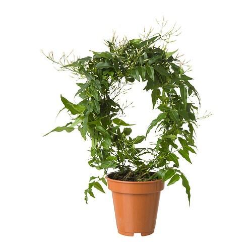 jasminum plante en pot ikea. Black Bedroom Furniture Sets. Home Design Ideas