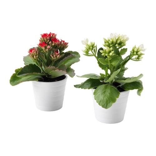 kalanchoe plante avec vase ikea