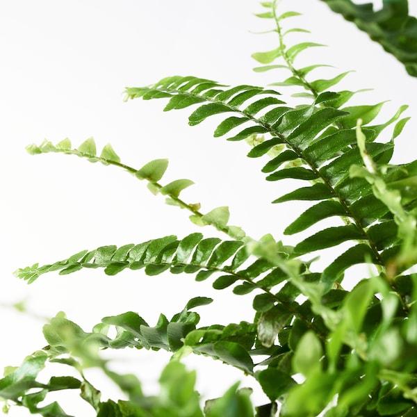 NEPHROLEPIS Plante en pot, fougère, 17 cm
