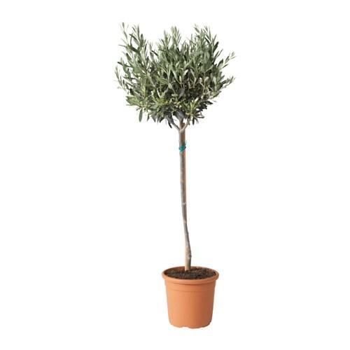 Olea europaea plante en pot ikea - Ikea plante interieur ...