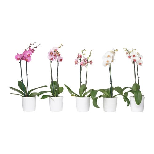 phalaenopsis plante avec vase ikea. Black Bedroom Furniture Sets. Home Design Ideas