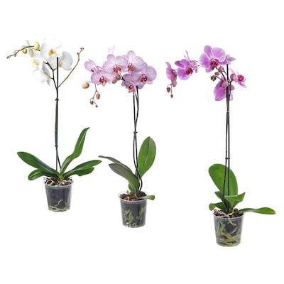PHALAENOPSIS Plante en pot, orchidée/1 tige coloris assortis, 12 cm
