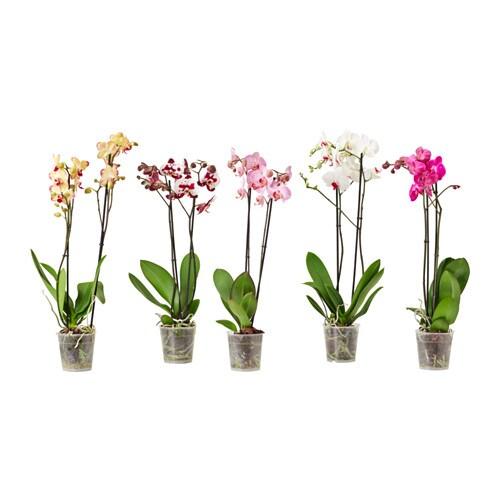 ikea.com/fr/fr/images/products/phalaenopsis-plante-en-pot__0311213_PE429367_S4.JPG