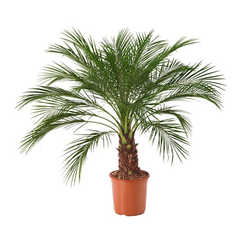 Phoenix roebelenii plante en pot ikea for Plantes decoratives exterieur