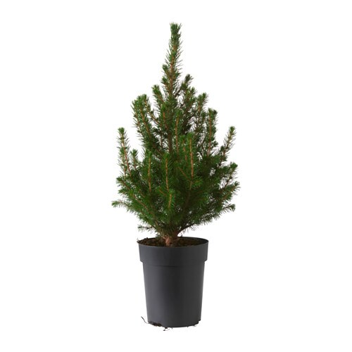 picea glauca conica plante en pot ikea. Black Bedroom Furniture Sets. Home Design Ideas