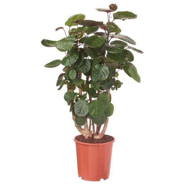 POLYSCIAS FABIAN Plante en pot, Aralia, 24 cm
