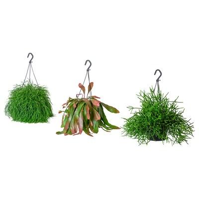 RHIPSALIS Plante en pot, Cactus-gui diverses espèces, 17 cm
