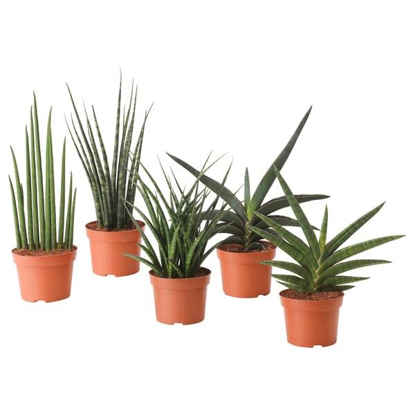SANSEVIERIA plante en pot diverses espèces 12 cm 30 cm