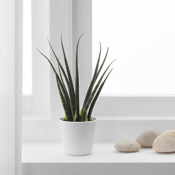 SANSEVIERIA plante en pot Sansevière cylindrique coloris assortis 6 cm 20 cm