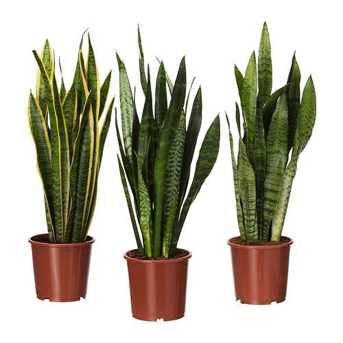 Sansevieria Trifasciata Plante En Pot Ikea