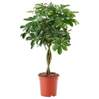 SCHEFFLERA ARBORICOLA Plante en pot, arbre-ombrelle/tige tressée, 19 cm