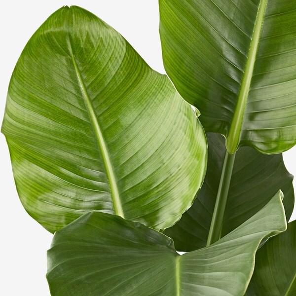 STRELITZIA Plante en pot, ., 19 cm