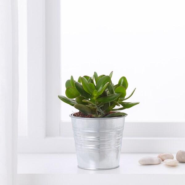 SUCCULENT Plante en pot, diverses espèces, 15 cm