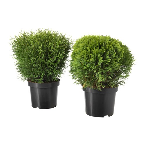 thuja plante en pot ikea. Black Bedroom Furniture Sets. Home Design Ideas