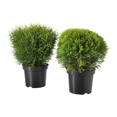 Thuja plante en pot ikea for Plantes decoratives jardin