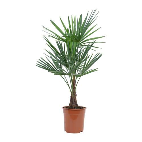 trachycarpus fortunei plante en pot ikea. Black Bedroom Furniture Sets. Home Design Ideas