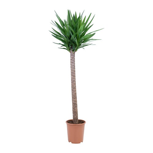 Yucca elephantipes plante en pot ikea for Plantes fleuries exterieur en pot