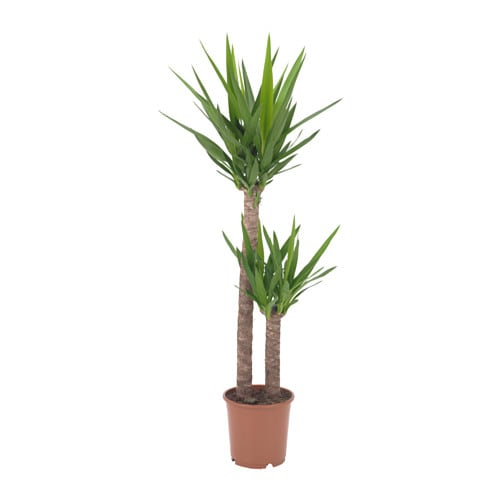 Yucca elephantipes plante en pot ikea for Plante interieur curcuma