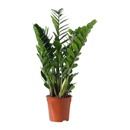 zamioculcas plante en pot ikea. Black Bedroom Furniture Sets. Home Design Ideas