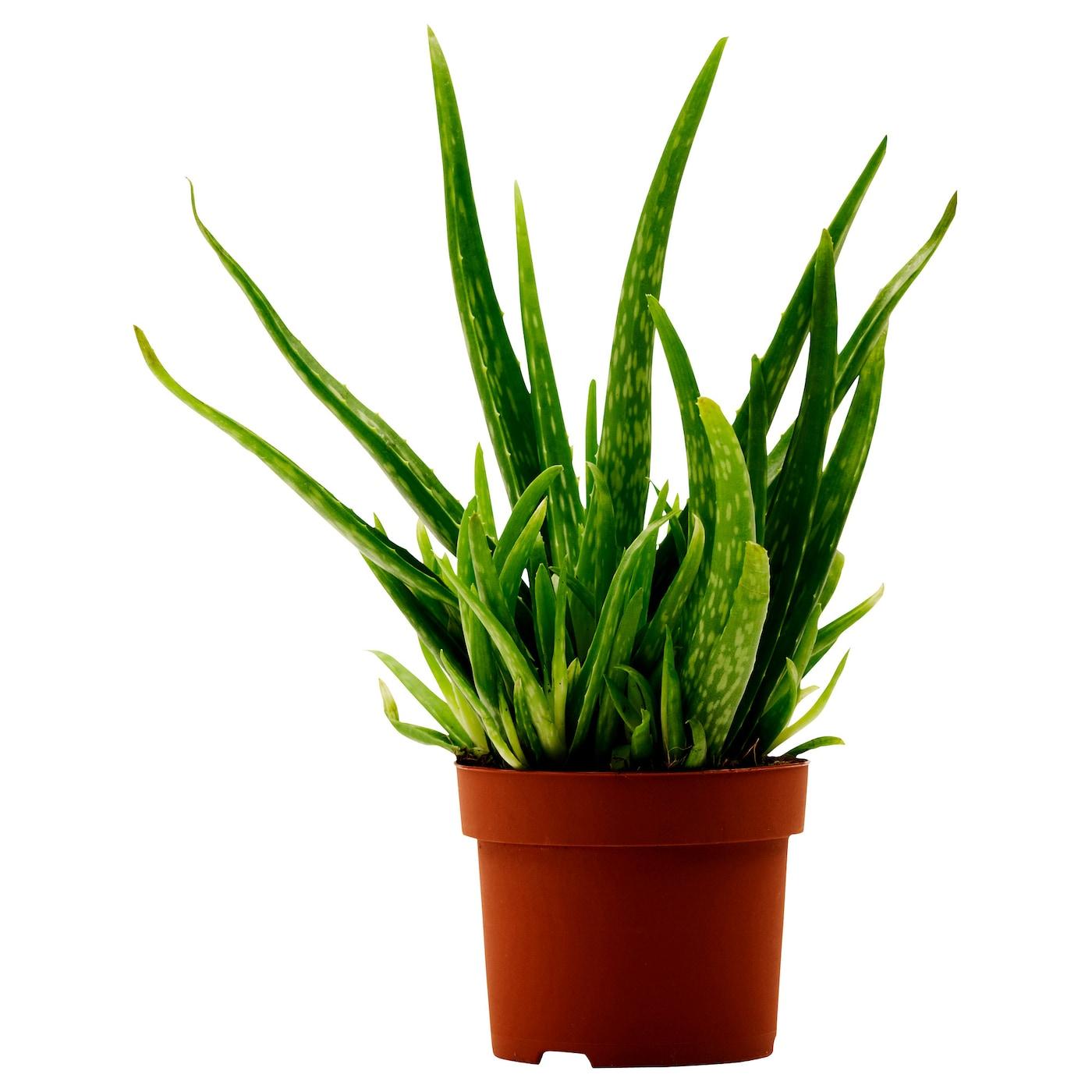 ikea aloe vera potted plant