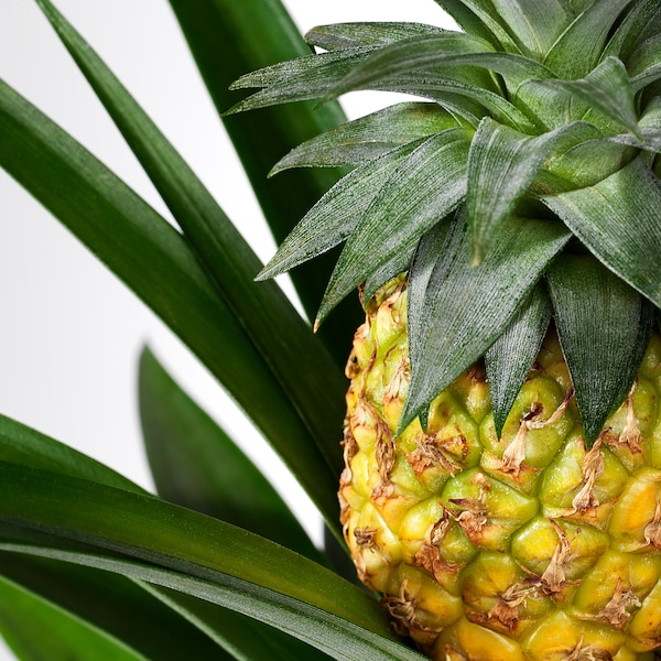ANANAS Potted plant, Pineapple, 12 cm