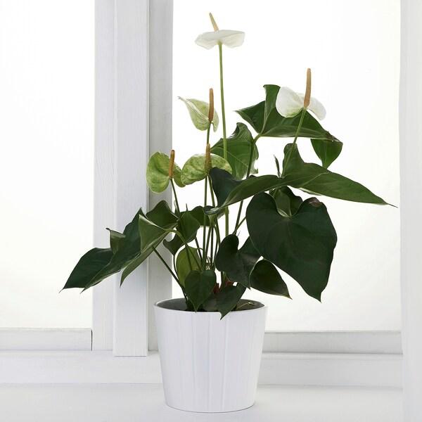 ANTHURIUM Potted plant, Flamingo plant, 12 cm