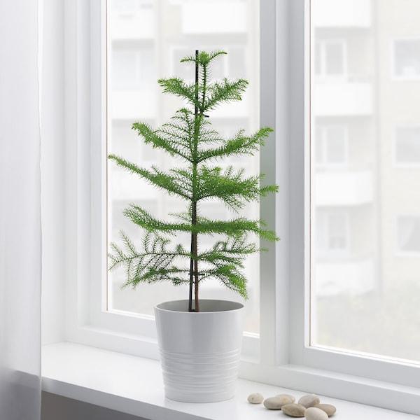 ARAUCARIA Potted plant, Norfolk island pine, 17 cm