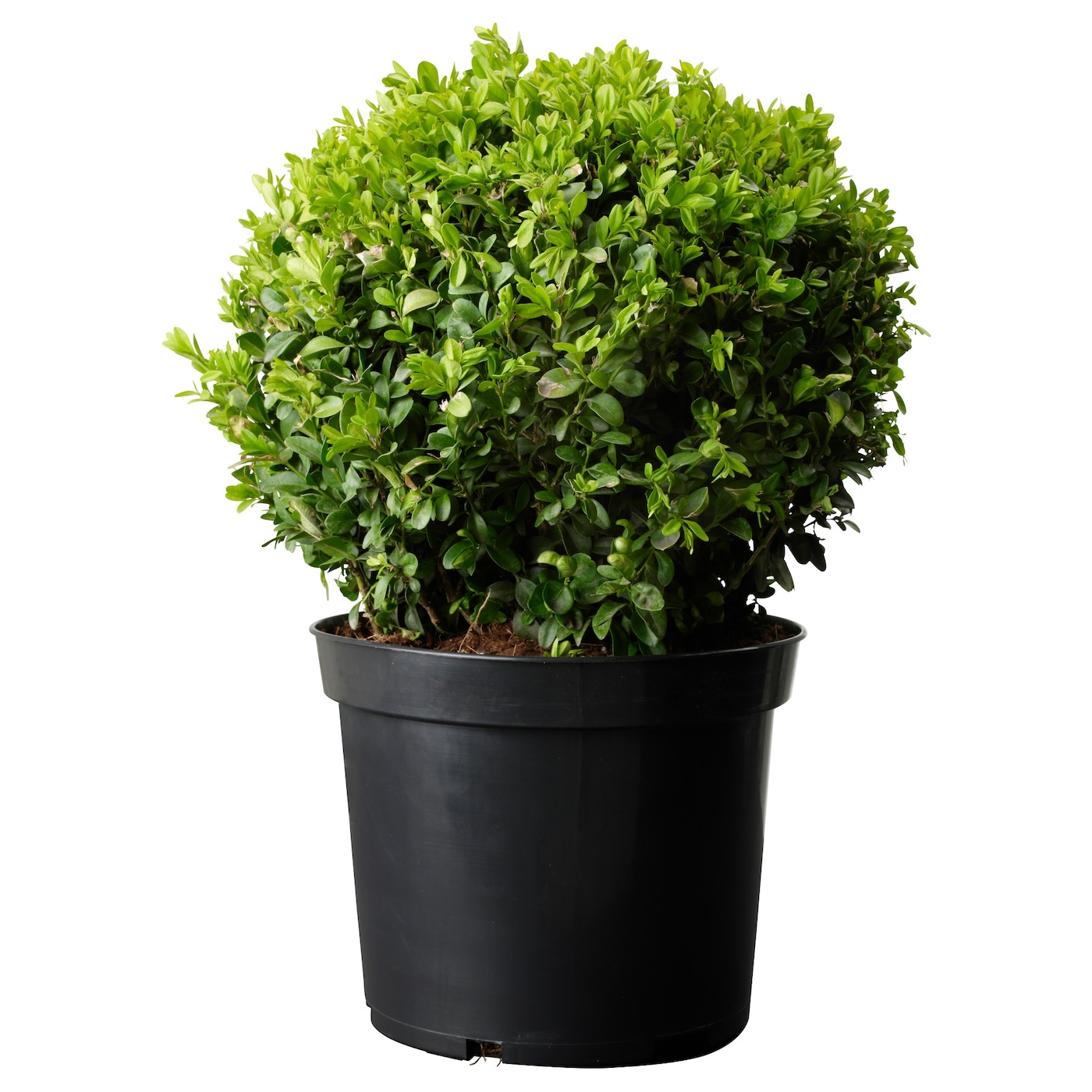 Buxus sempervirens potted plant box ball 24 cm ikea for Plant de pot exterieur