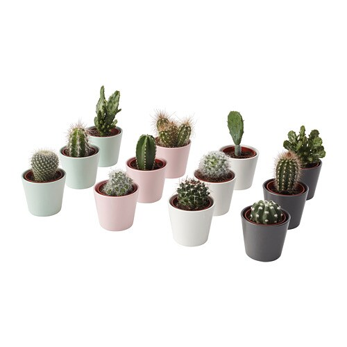 Cactaceae Potted Plant With Pot Cactus Assorted 6 Cm 3
