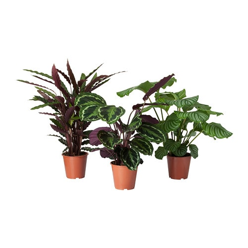 Calathea potted plant calathea assorted 19 cm ikea for Plantas de interior ikea