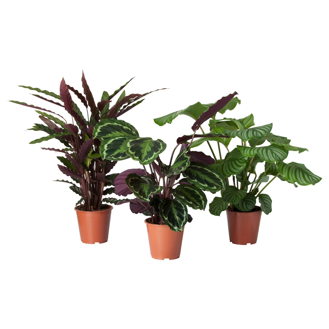 Calathea potted plant calathea assorted 19 cm ikea for Ikea plantes