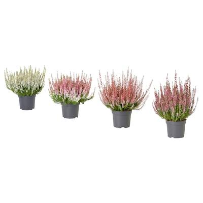 CALLUNA Potted plant, heather/assorted colours, 13 cm