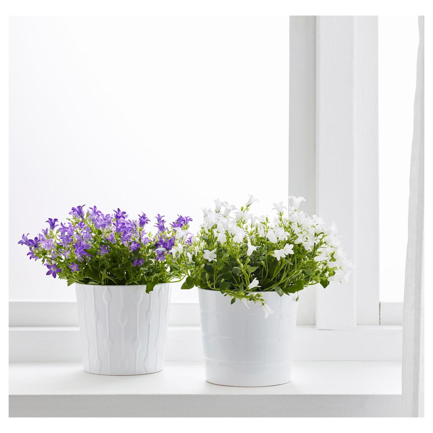 Campanula Portenschlagiana Potted Plant Bell Flower 105 Cm Ikea