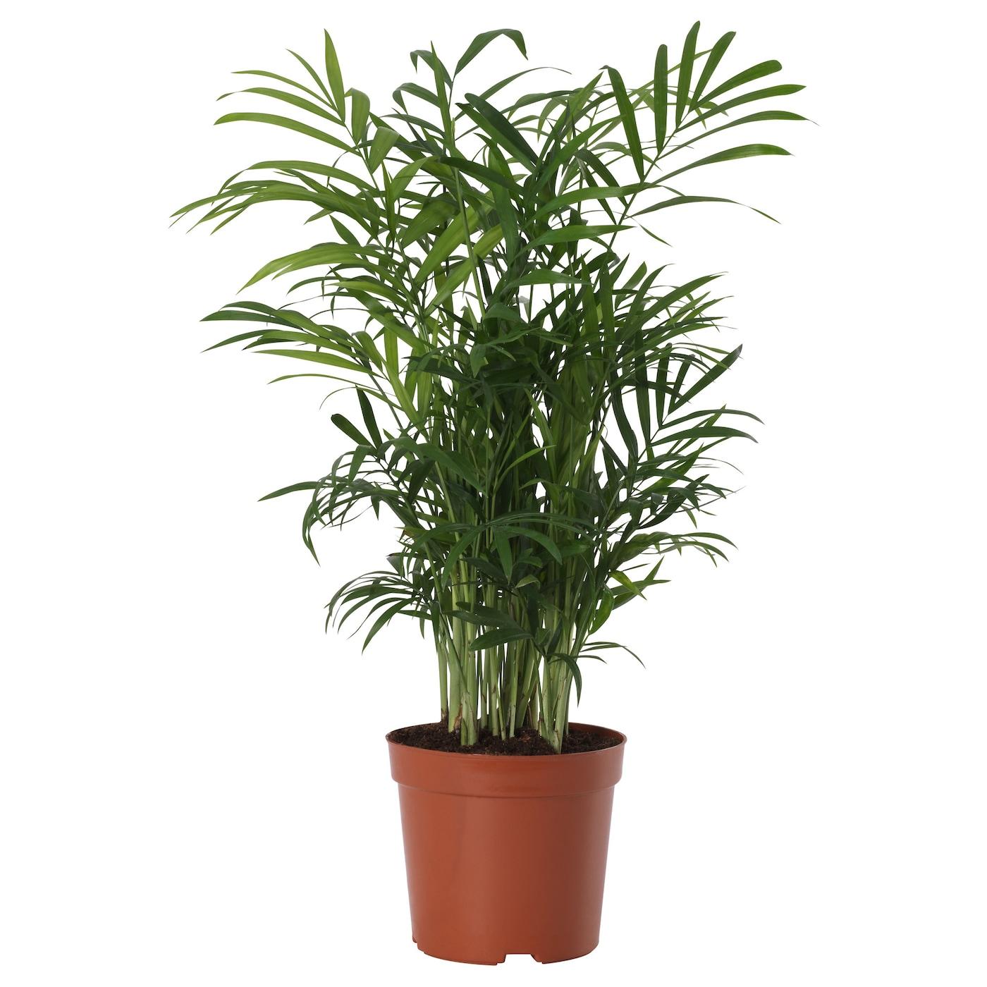 Ikea Chamaedorea Elegans Potted Plant