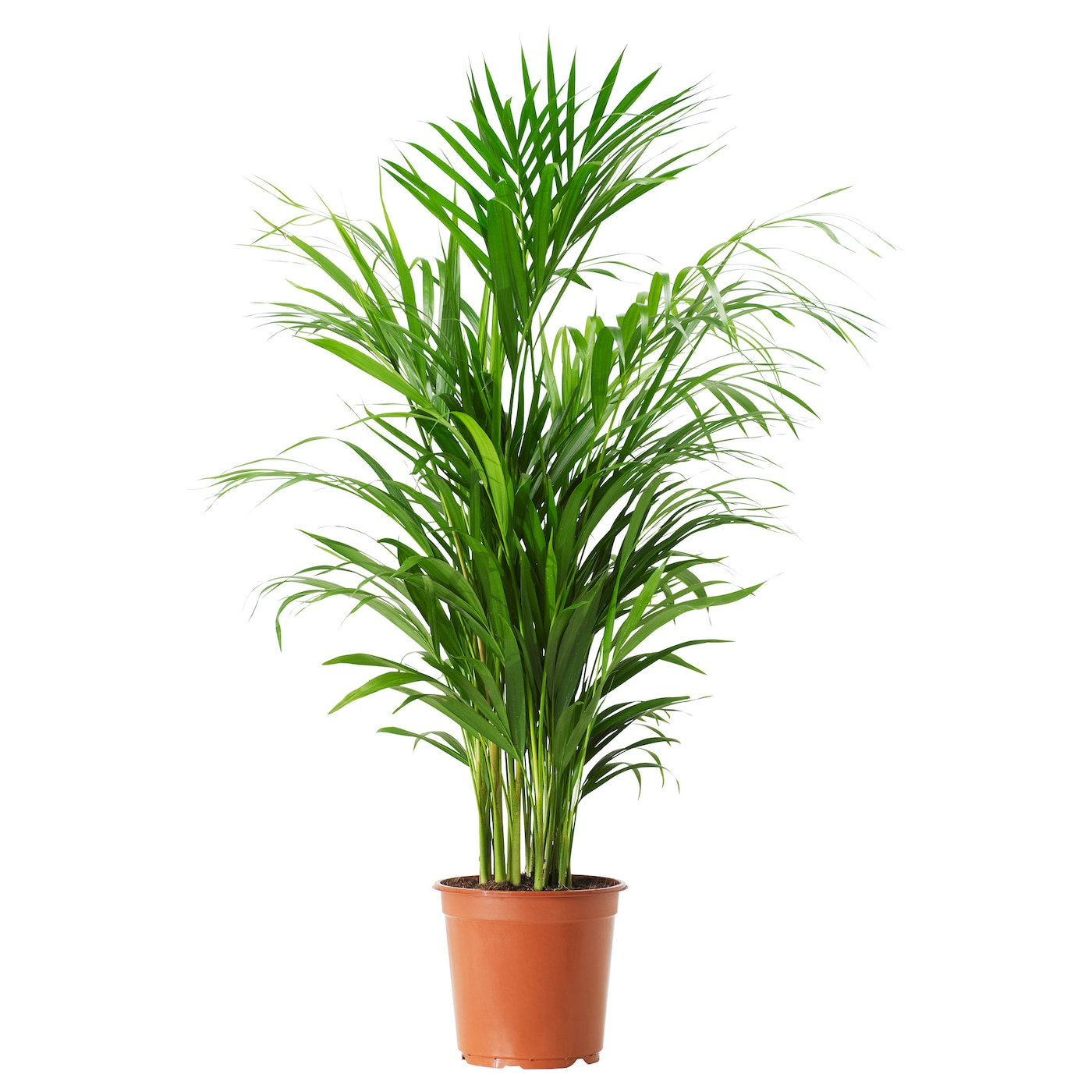 Chrysalidocarpus lutescens potted plant areca palm 21 cm for Plantes vertes