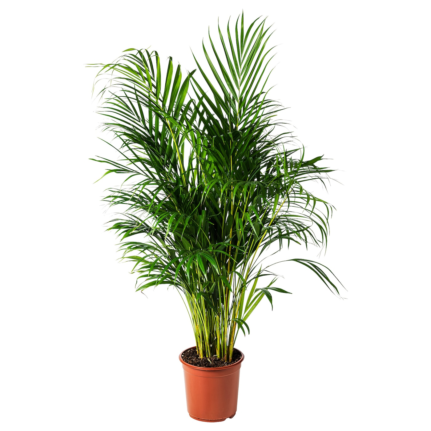 chrysalidocarpus lutescens potted plant areca palm 24 cm ikea. Black Bedroom Furniture Sets. Home Design Ideas