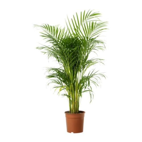 Chrysalidocarpus Lutescens Potted Plant Areca Palm 24 Cm