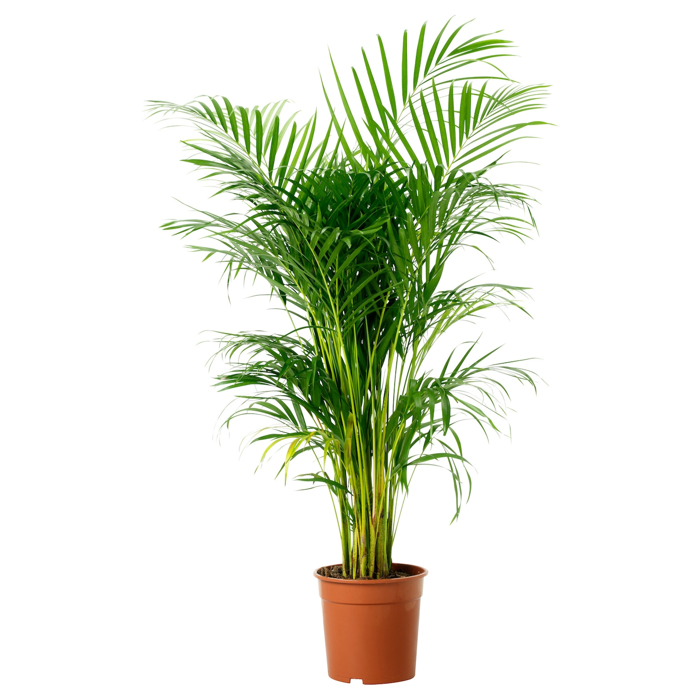 Chrysalidocarpus lutescens potted plant areca palm 24 cm for Ikea plantes