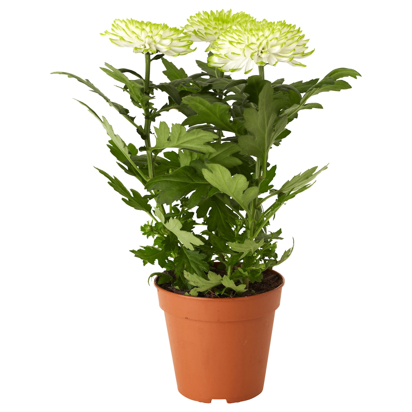 IKEA CHRYSANTHEMUM potted plant