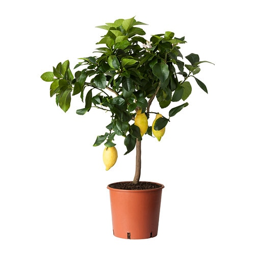 IKEA CITRUS potted plant