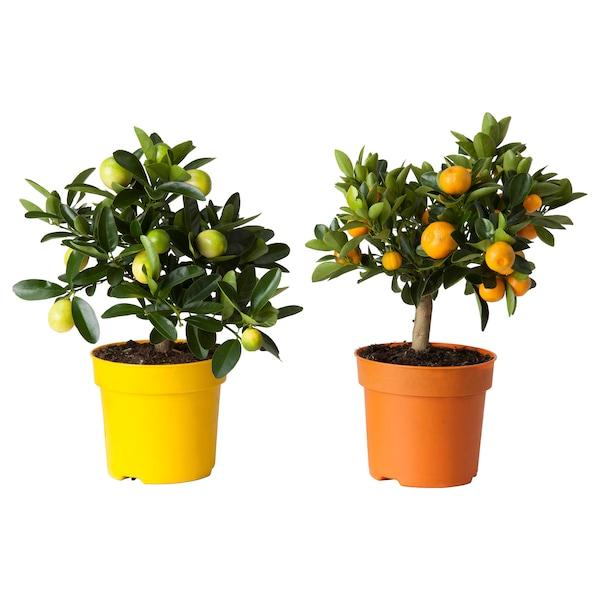 IKEA CITRUS Potted plant