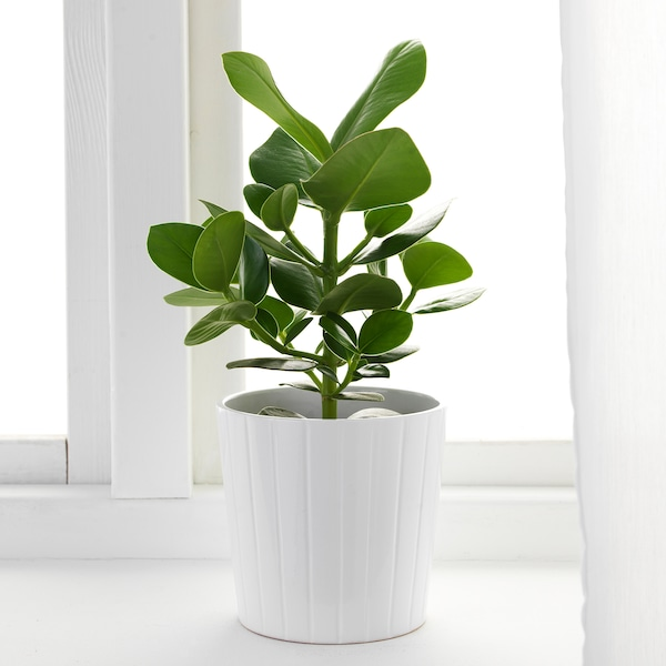 CLUSIA Potted plant, 12 cm