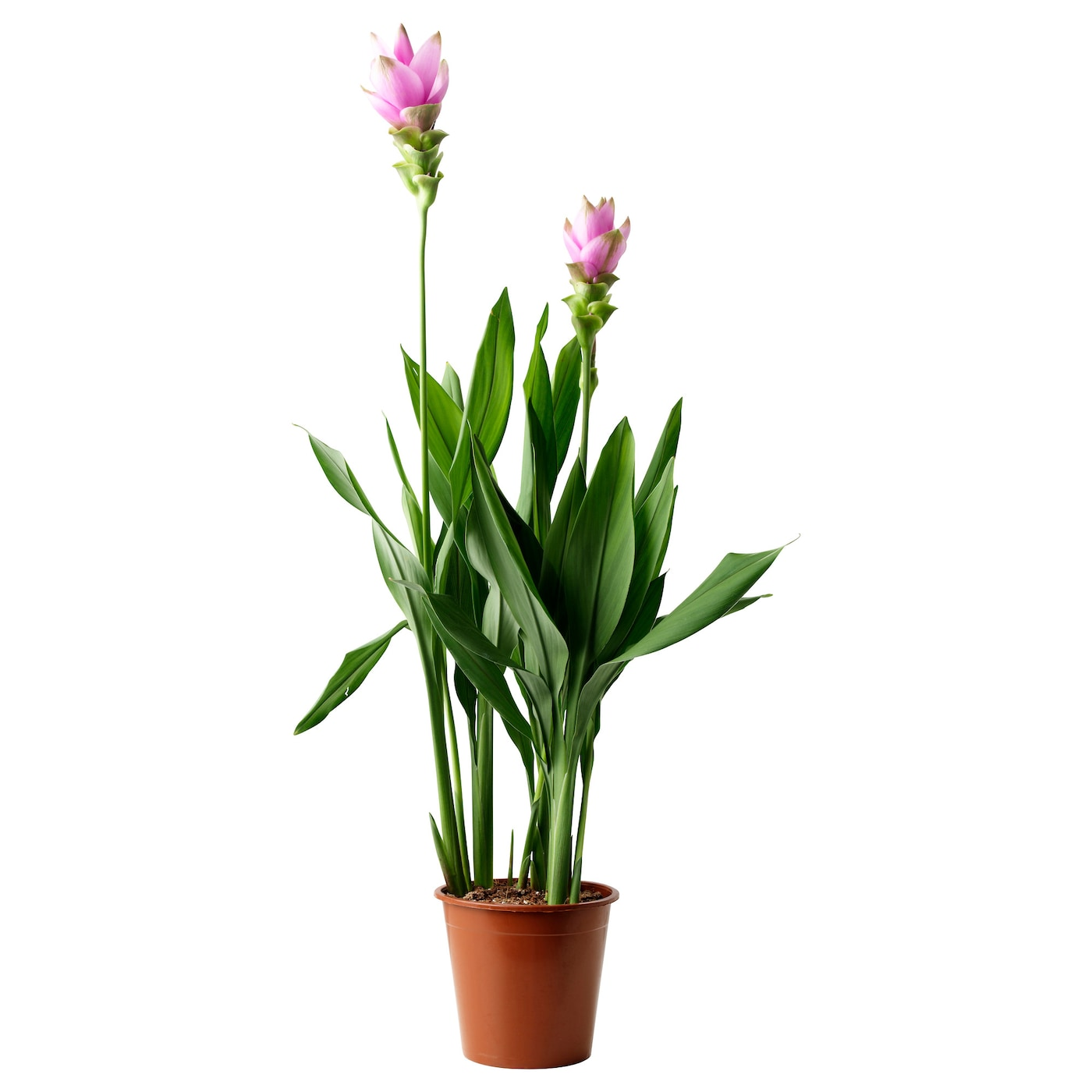 curcuma potted plant siam tulip pink 19 cm ikea. Black Bedroom Furniture Sets. Home Design Ideas